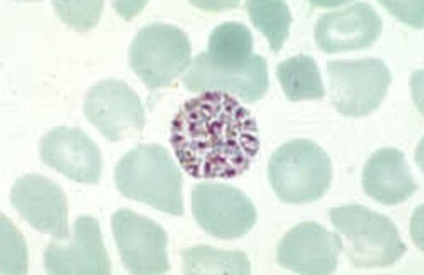 Plasmodium - Entheogenosis
